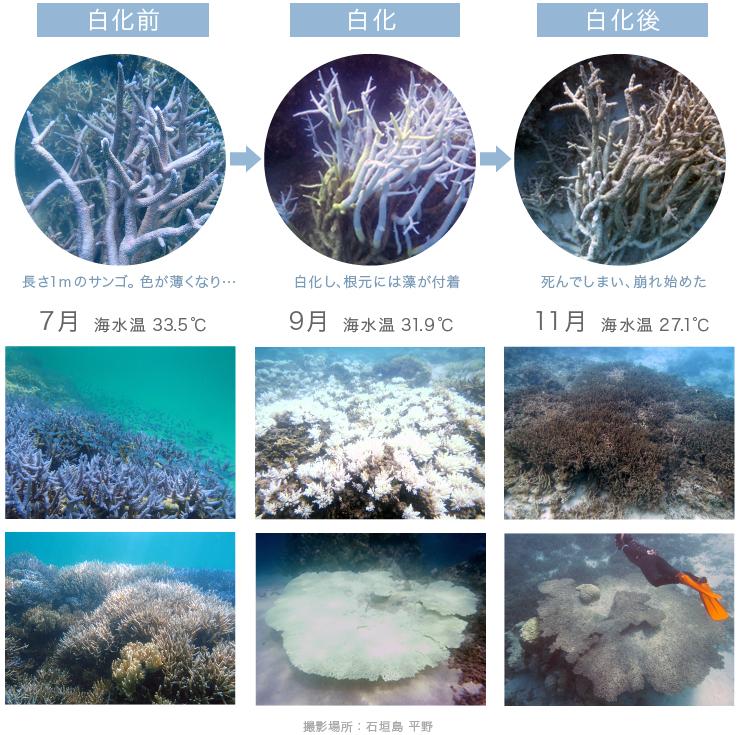 サンゴの変化 7月〜11月 白化前後 石垣島