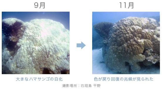 白化から回復したハマサンゴ